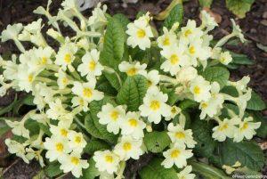 Primroses, native species, wildflower, primula vulgaris