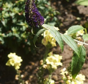 purple buddleia, antirrhinum, yellow snapdragons
