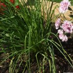 dianthus, garlic chives, raised vegatable bed