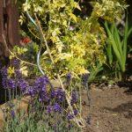 lavender hidcote, english lavender, jasmine fiona sunrise, yellow variegated foliage, raised bed, arbour