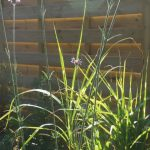 miscanthus strictus, verbena bonariensis, fence, secret path, family friendly garden