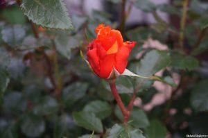 rosa 'wonderful you' hybrid tea rose, rose bud, festival of roses pavilion, rhs hampton court flower show 2016, light fragrance