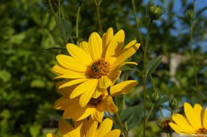 Helianthus lemon queen, herbaceous perennial, pollinating insect on yellow flower, wildlife friendly summer gardens, cottage garden. prairie planting