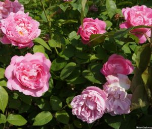 Rosa Mary Rose, shrub, loose petalled rose pink flowers, delicious old rose, honey and almond blossom fragrance, repeat flowering