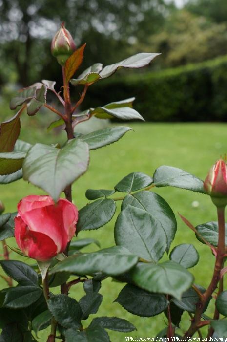 Rosa dearest, flower buds, floribunda, camellia like salmon pink blooms, strong spicy fragrance, dark green foliage, repeat flowering