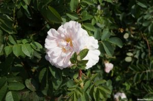 Rosa spinosa Stanwell perpetual,the Scottish rose, repeat flowering, may flower at Christmas, true Old Rose character, good fragrance