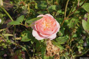 Rosa the generous gardener, climbing rose, repeat flowering, strong fragrance