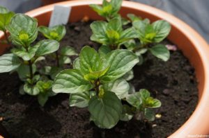 mentha x piperita granada orange, national collection, iden croft herbs