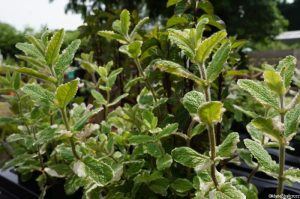 pineapple mint for sale, national collection, iden croft herbs