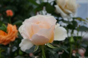rosa commonwealth glory, hybrid tea, ivory white scented flowers, deciduous shrub