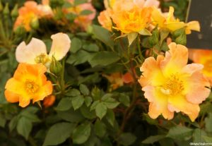 Rosa euphoria - ground cover rose, tangerine and yellow petals, light fragrance