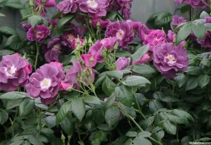 rosa rhapsody in blue, purple scented flowers fading to mauve, shrub rose, repeat flowering, deciduous shrub