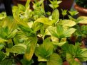 variegated ginger mint, national collection, iden croft herbs
