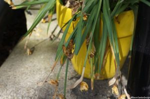 dead daffodils in yellow pot