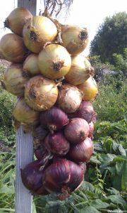 onions drying, harvest, grow your own vegetables, kitchen garden, vegetable garden, allotment
