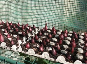 red onion sets in egg boxes in greenhouse, grow your own vegetables, propagation