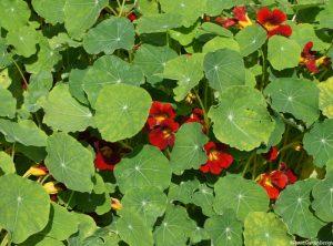 red nasturtium flowers, edible flowers, edible leaves, ornamental kitchen garden