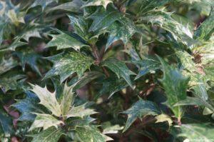 osmanthus heterophyllus, holly osmanthus, evergreen shrub, variegated foliage, scented flower, Osmanthus heterophyllus 'Goshiki'