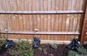 bare root apple trees placed in flower border, malus, howgate winder, lord lambourne, james grieve varieties