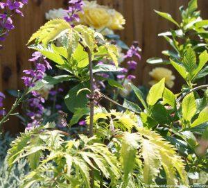 golden elder, sutherlands gold, sambucus racemosa, planting design, garden project