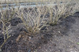 gooseberry bushes, winter, mulch, kitchen garden, chartwell, kent