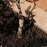 showing graft of rootstock and scion on newly planted bare root fruit tree
