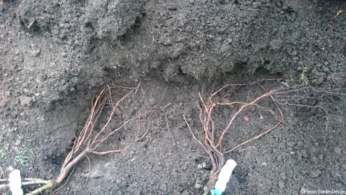 heeling in bare root plants until permanent planting hole is ready cultivation winter garden most fruit trees