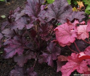 heuchera berry marmalade and heuchera berry smoothie, herbaceous perennials, planting design, evergreen