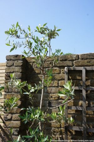 olive tree in large pot, old brick wall