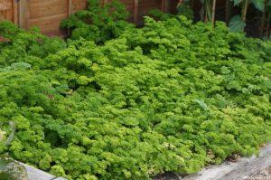 parsley in raised bed, herb garden, kitchen garden, grow your own, petrosilum crispum