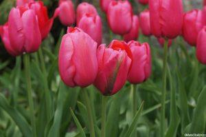 pink viridifolia tulips, spring flowering bulbs