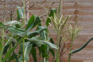 sweetcorn, zea mays, kitchen garden, grow your own