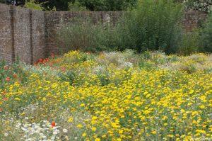 wildflower border, walled garden, poppies, daisies