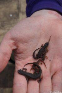 garden newts in palm of hand, Plews, garden wildlife, amphibians