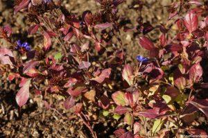 Ceratostigma plumbaginoides, autumn colour, deciduous shrub, autumn gardens, blue flowers, red leaves