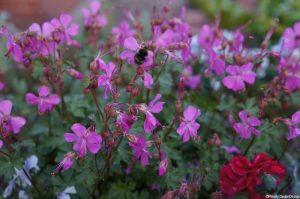 geranium macrorrhizum with bee, herbaceous perennial, pollinating insect, wildlife friendly garden, wildlife friendly planting