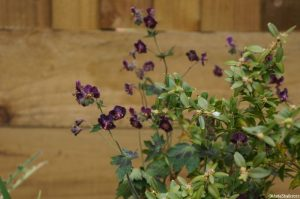 geranium phaeum, dusky cranesbill, native species, herbaeous perennial