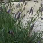 lavender edging curved indian sandstone patio, garden designer, landscaper, garden project, kent