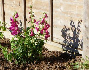 penstemon plum jerkum, garden design, planting scheme, planting design, garden project, kent, flowering shrub