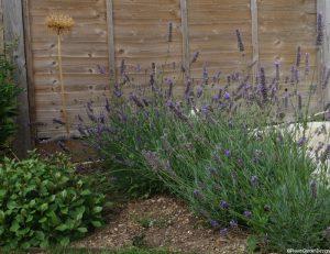 planting scheme, lavender, ceratostigma, agapanthus, penstemon, garden designer, planting design, garden project, kent, anniversary visit