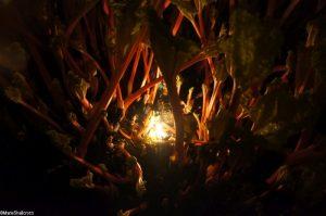 rhubarb crown, candlelit rhubarb forcing shed, Oldroyds farm