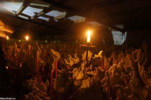 candlelit rhubarb forcing shed, Oldroyds farm