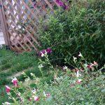salvia and penstemon, late autumn, diamond trellis fence, circular patio, summerhouse, garden design, kent