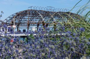 sea holly, fire damaged eastbourne pier behind, eryngium, seaside plants, coastal gardens