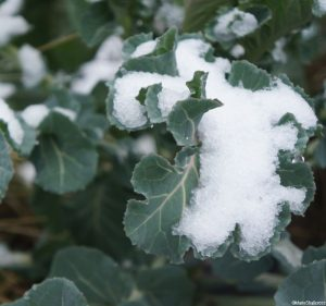 sprouts in the snow, winter vegetable garden, grow your own, edible gardens, brassica