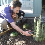 watering in newly planted herbs, border collie, planting scheme, rosemary, thyme, marjoram, herb border, garden designer, planting design, garden project, kent