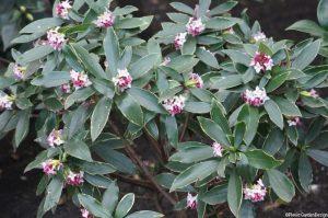 Daphne odora Aureomarginata, evergreen shrub, variegated foliage, silver edged leaves, scented flowers, winter garden