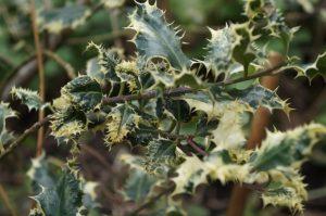 Ilex aquifolium ferox argentea, evergreen shrub, variegated foliage, silver edged leaves, purple stems