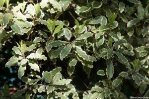 Pittosporum tenuifolium variegatum, evergreen shrub, variegated foliage, tawhiwhi, Kohuhu, parchment bark, greyish-green leaves narrowly margined with creamy-white, crinkly leaves
