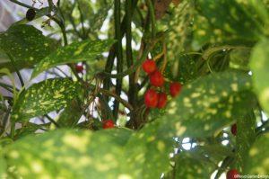 spotted laurel, red berries, evergreen shrub, variegated foliage, Aucuba japonica, Japanese laurel, Japanese aucuba, gold dust plant